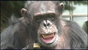 Legal rights of chimpanzees
